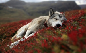 Best-top-desktop-beautiful-wolfs-wallpapers-hd-wolf-wallpaper-pictures-images-photos-8